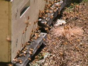 Bees Making Raw Honey