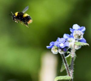 RS21879_Early bumblebee (Bombus pratorum)_Sunderland_Sharon Lashley-lpr